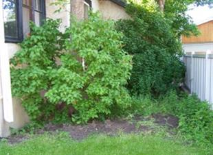Weeds and overgrown shrubs in a yard